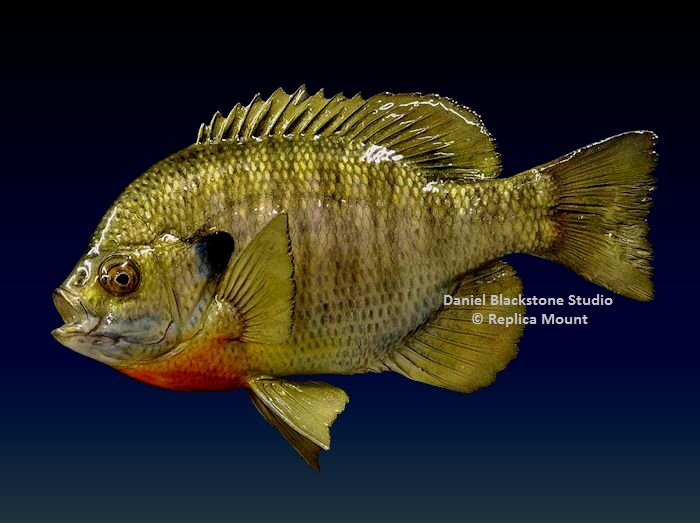 Bluegill bream fiberglass fish replicas reproductions for Fiberglass fish replicas