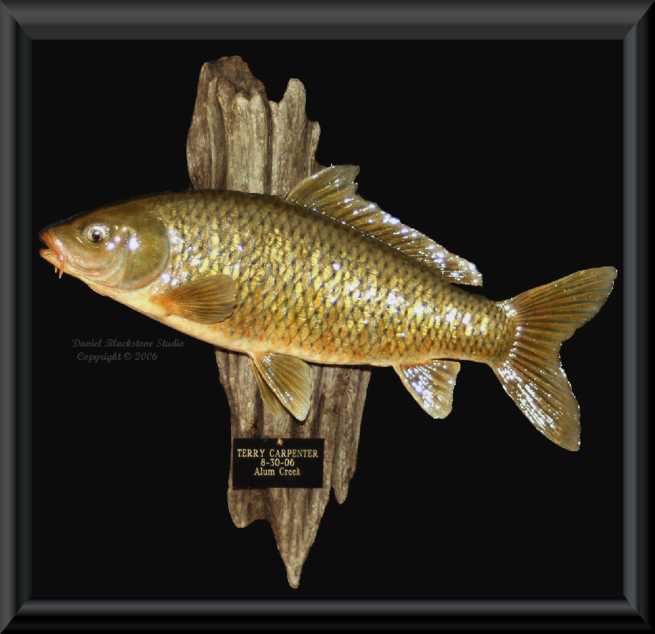 Carp fish mounts replicas for Replica fish mounts