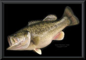 Georgia Largemouth Bass Reproduction - 9lbs.