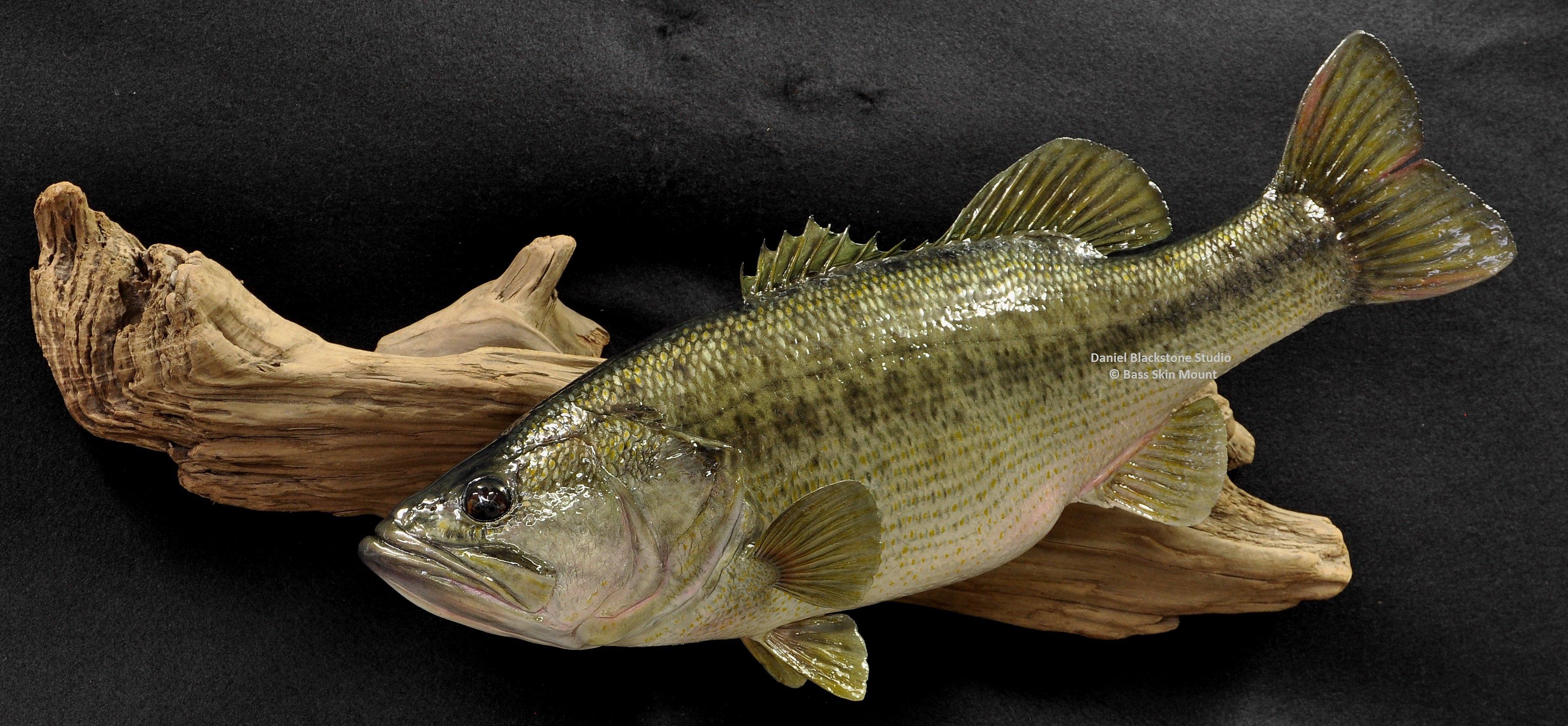 Largemouth bass fish mounts replicas