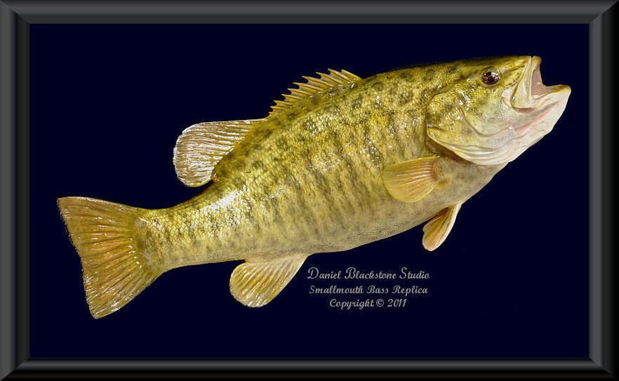 Smallmouth bass fiberglass fish replicas reproductions for Fish taxidermy prices