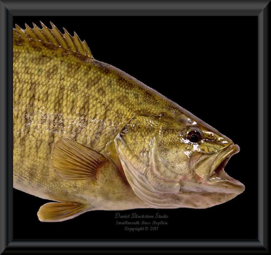 Smallmouth bass fiberglass fish replicas reproductions for Fiberglass fish replicas