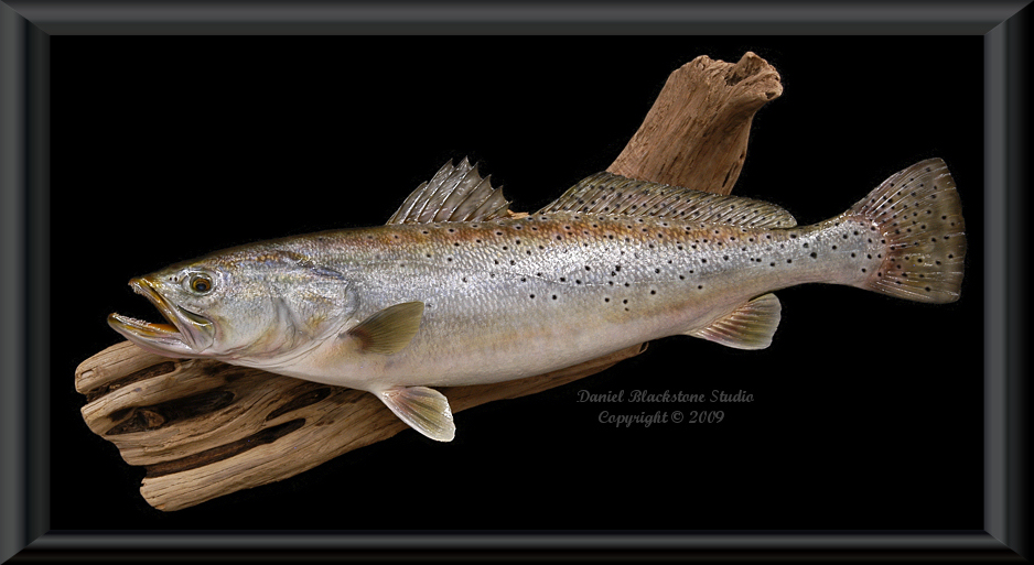 Spotted seatrout fish mounts replicas for Fish taxidermy prices