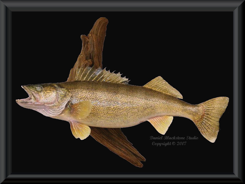 Walleye fish mounts replicas for Fish taxidermy prices