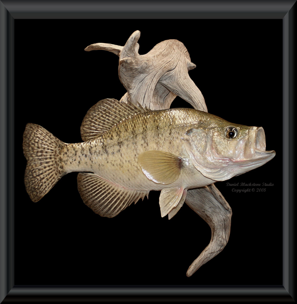 White crappie fish mounts replicas for Fish taxidermy prices