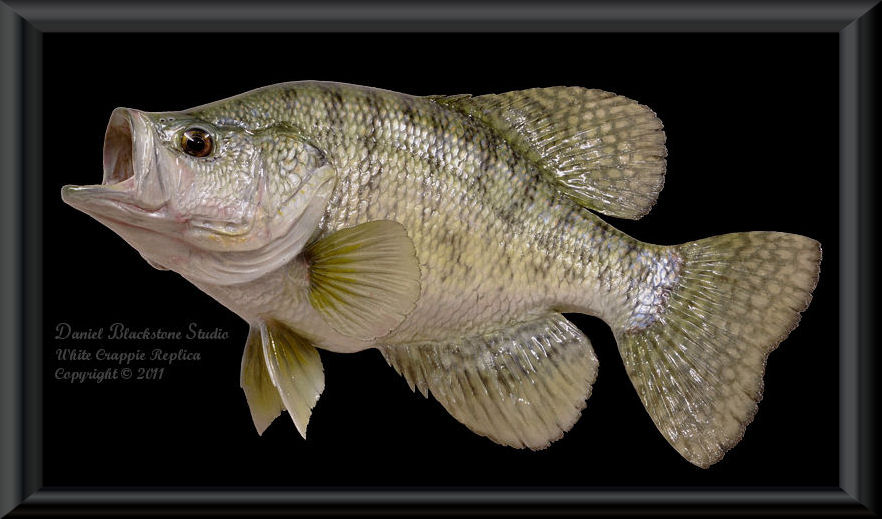 White crappie fiberglass fish replicas reproductions for Fish taxidermy prices