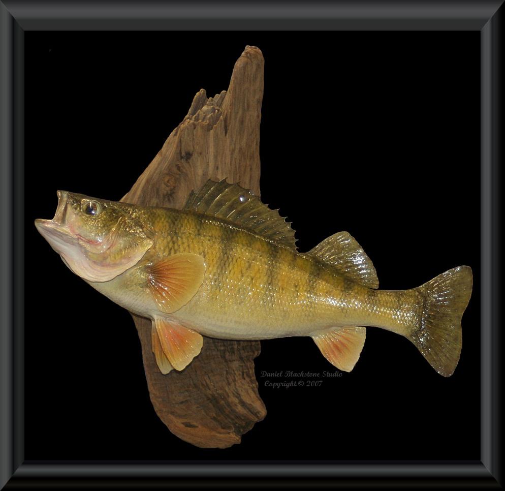 Yellow perch fish mounts replicas for Replica fish mounts