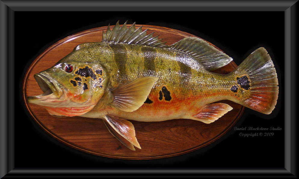 Peacock bass fiberglass fish replicas reproductions for Fish taxidermy prices